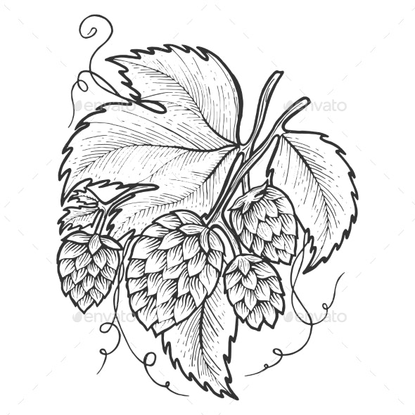 Hops Plant Sketch Engraving Vector Illustration - Food Objects