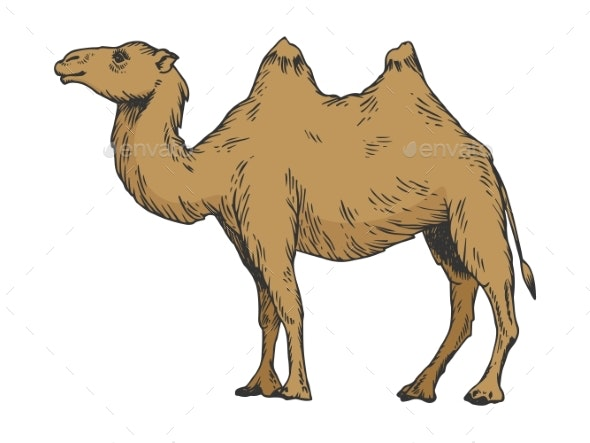 Camel Color Sketch Engraving Vector Illustration - Animals Characters