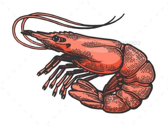 Shrimp Sea Animal Sketch Color Engraving Vector - Miscellaneous Vectors