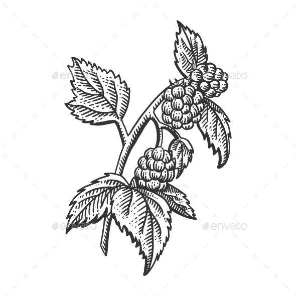 Raspberry Plant Sketch Engraving Vector - Food Objects