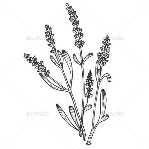 Lavandula Flower Sketch Engraving Vector - Miscellaneous Vectors