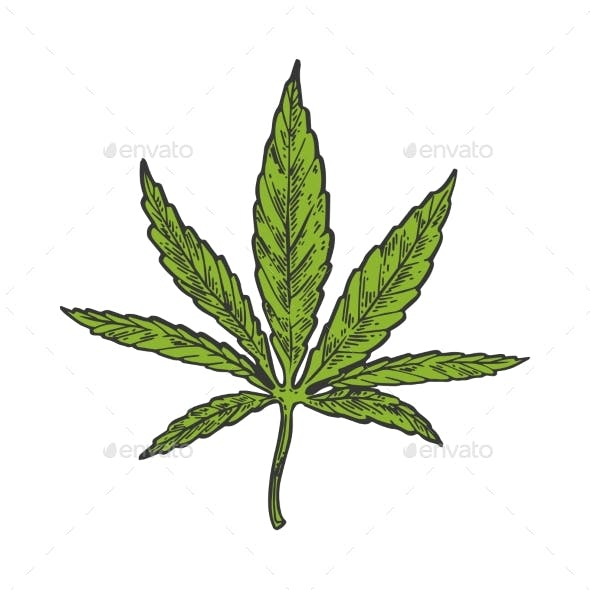 Narcotic Cannabis Leaf Color Sketch Engraving