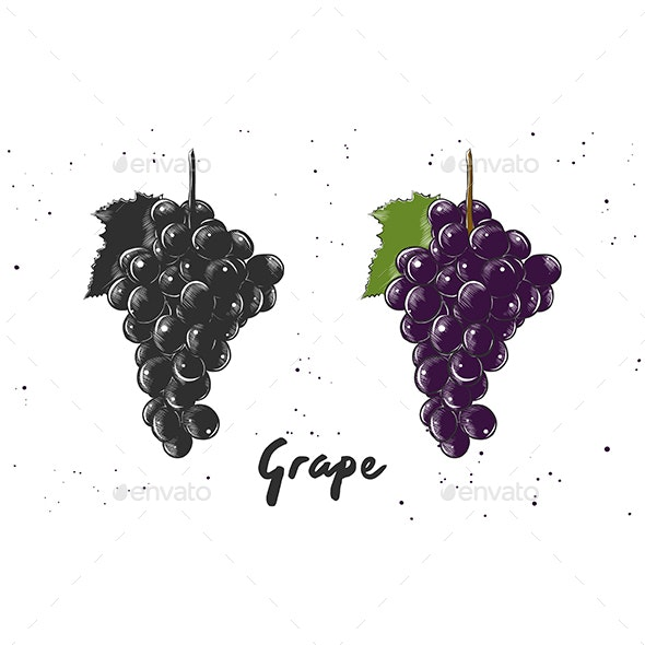 Hand Drawn Sketch of Grape - Food Objects