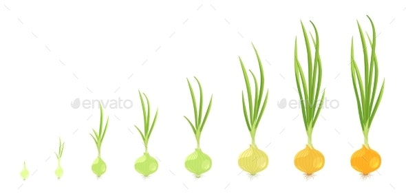 Crop Stages of Onion - Flowers & Plants Nature