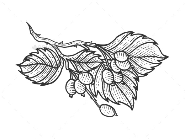 Dog Rose with Leaves Sketch Engraving Vector - Food Objects