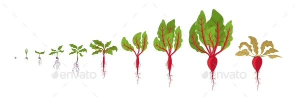 Beet Growth Stages Planting of Red Beetroot Plant - Flowers & Plants Nature