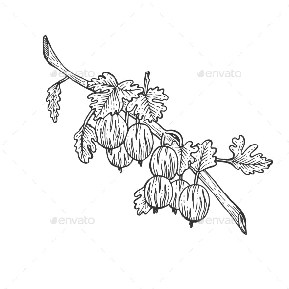 Gooseberry with Leaves Sketch Engraving Vector - Food Objects
