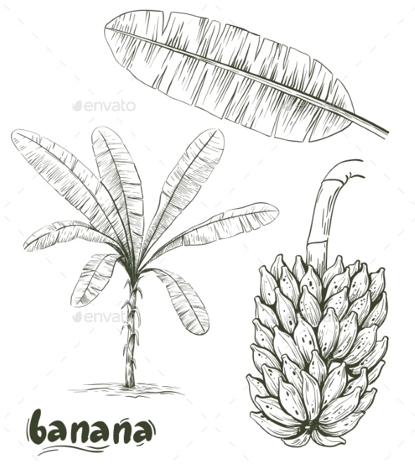 Banana Palm and Bunch of Bananas on White - Flowers & Plants Nature