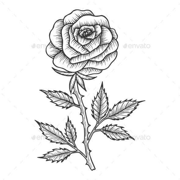 Rose Flower Sketch Engraving Vector Illustration - Flowers & Plants Nature