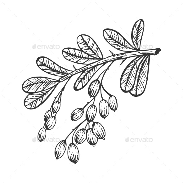 Barberry Branch Sketch Engraving Vector - Flowers & Plants Nature