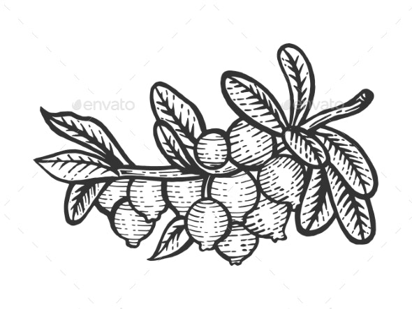 Cranberry Branch Sketch Engraving Vector - Flowers & Plants Nature