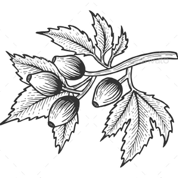 Dog Rose with Leaves Sketch Engraving Vector