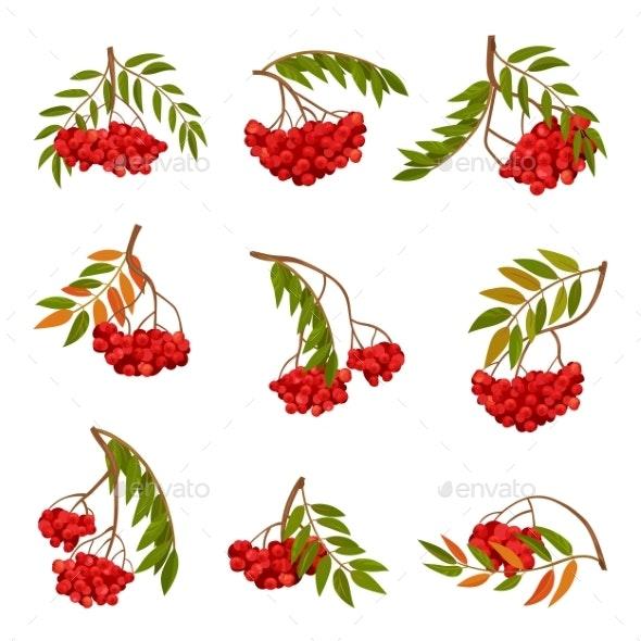 Cartoon Branch of Ripe Rowan Vector Illustration - Food Objects