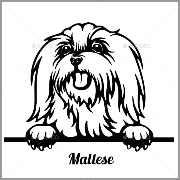 Maltese Peeking Dog - Animals Characters