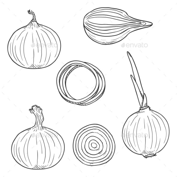 Vector Set of Onion Sketch Illustrations - Food Objects