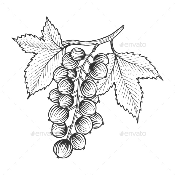 Black Currant with Leaves Sketch Engraving Vector - Food Objects