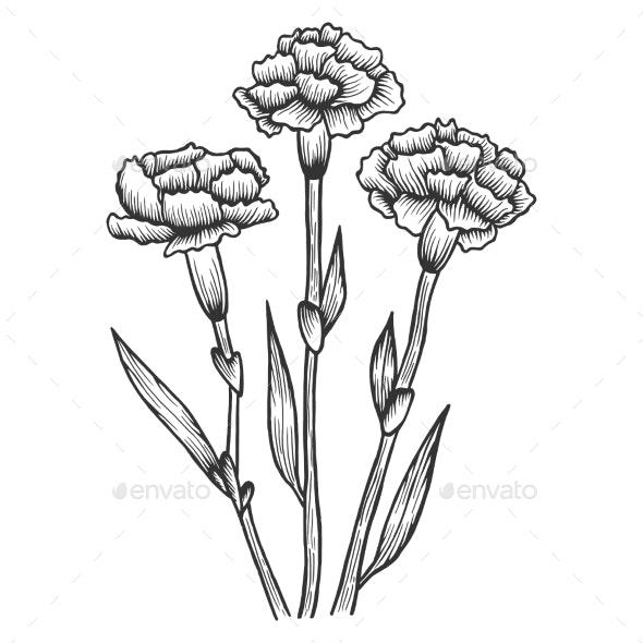 Dianthus Carnation Flowers Sketch Engraving Vector - Flowers & Plants Nature