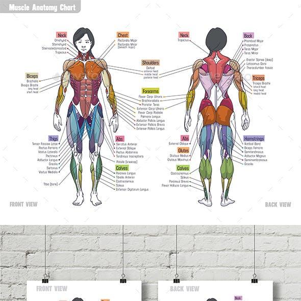Women Muscle Anatomy Сhart