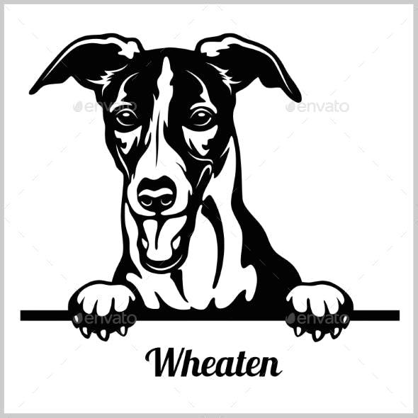 Wheaten Peeking Dog