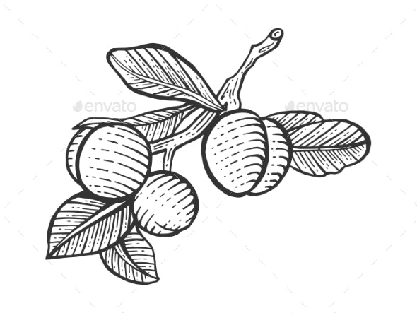 Plum Sketch Engraving Vector Illustration - Food Objects