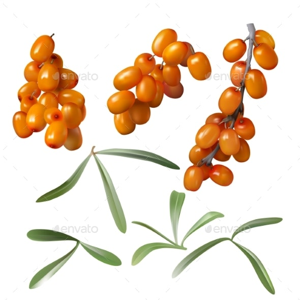 Sea Buckthorn Yellow Berries and Green Leaves - Flowers & Plants Nature