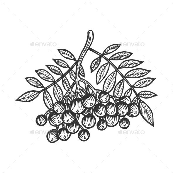 Rowan Sorbus Branch Sketch Engraving Vector - Miscellaneous Vectors