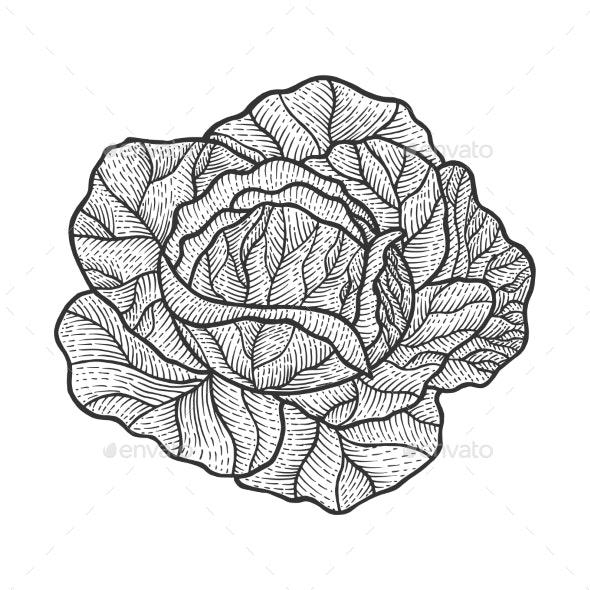 Cabbage Sketch Engraving Vector Illustration - Food Objects