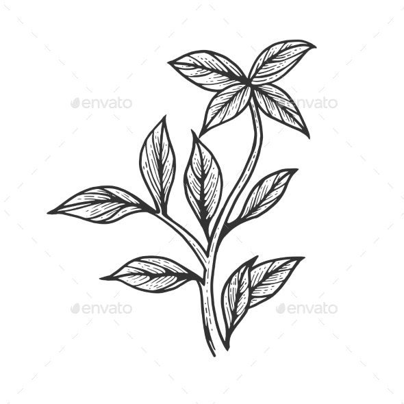Basil Ocimum Spice Sketch Engraving Vector - Food Objects