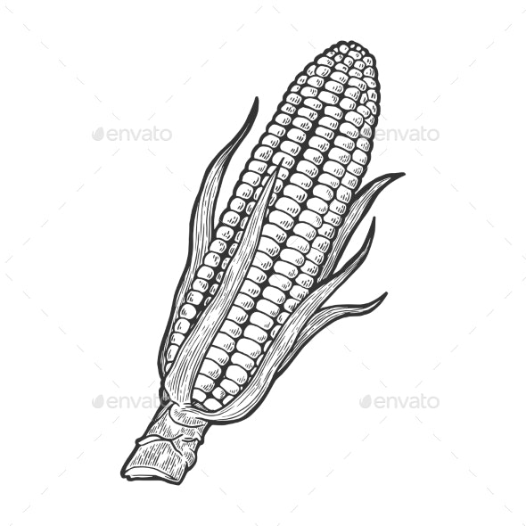 Corn Maize Sketch Engraving Vector Illustration - Food Objects