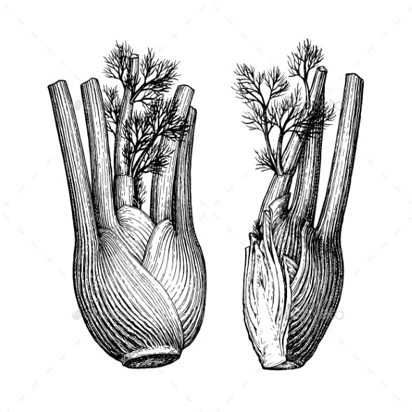 Ink Sketch of Fennel Bulbs