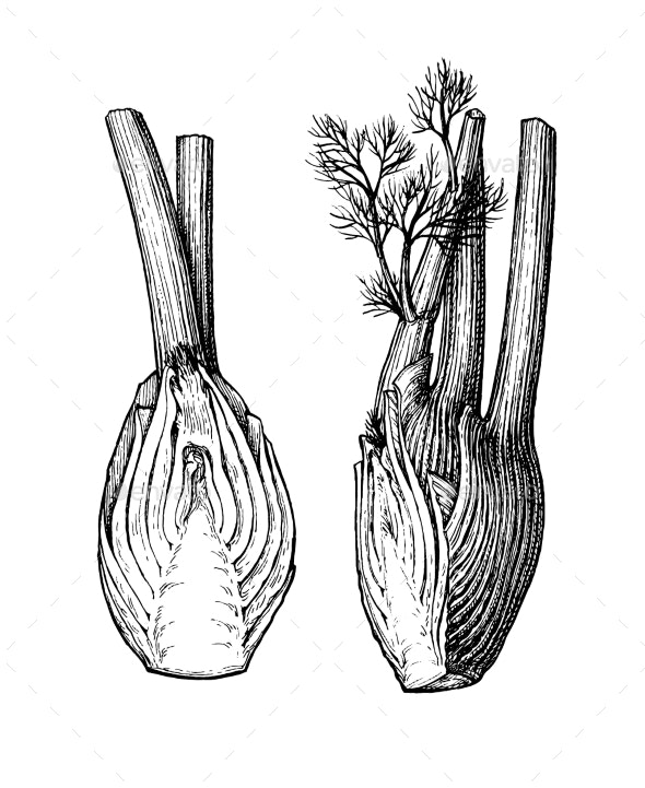 Ink Sketch of Fennel Bulbs - Food Objects