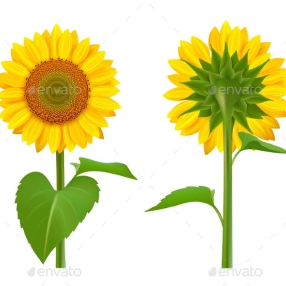 Sunflowers Realistic