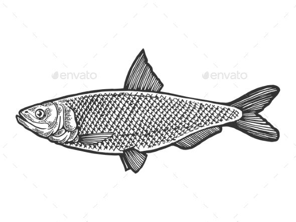 Herring Clupea Fish Sketch Engraving Vector - Miscellaneous Vectors