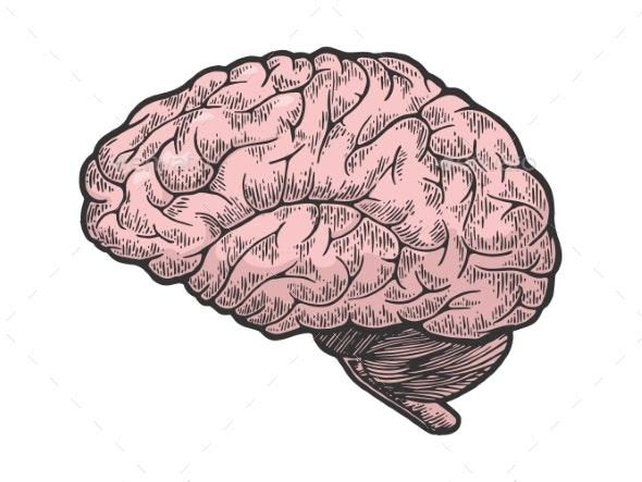Human Brain Color Sketch Engraving Vector - Health/Medicine Conceptual
