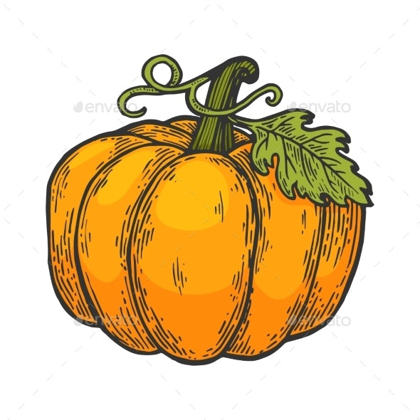 Pumpkin Color Sketch Engraving Vector Illustration - Miscellaneous Vectors