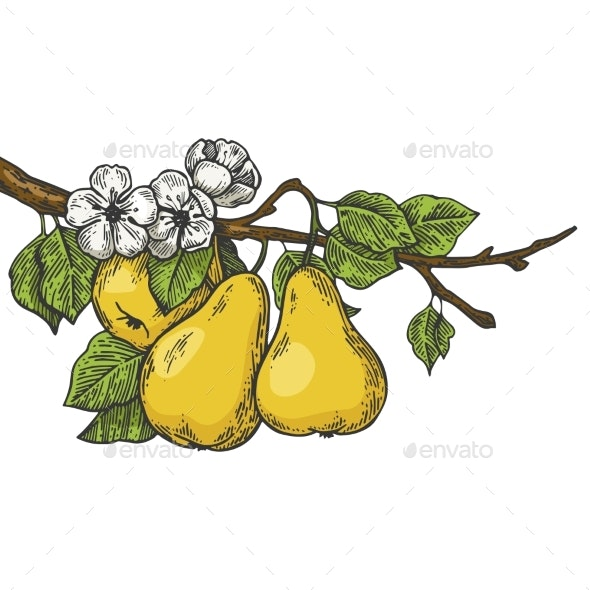 Pear Tree Branch Color Sketch Engraving Vector - Food Objects