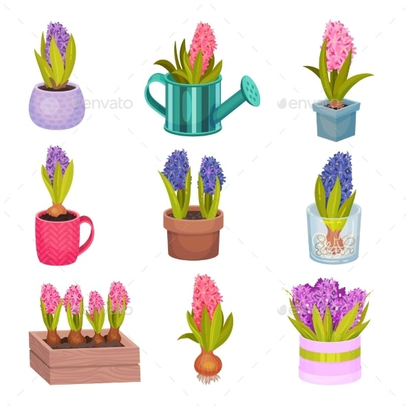 Set of Flowers of Hyacinth.  - Flowers & Plants Nature