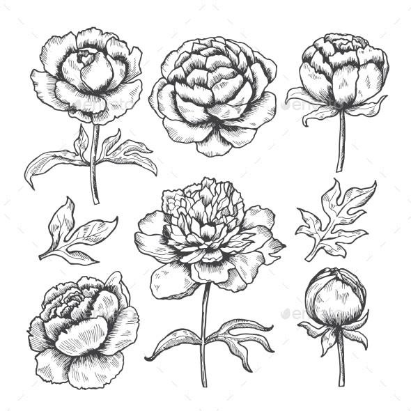 Peonies Hand Drawn - Organic Objects Objects