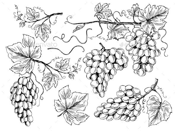 Grape Sketch - Food Objects