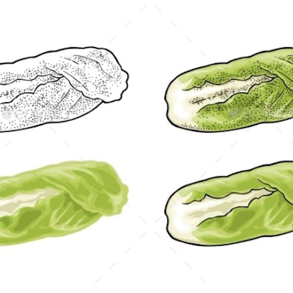 Fresh Head of Napa Cabbage