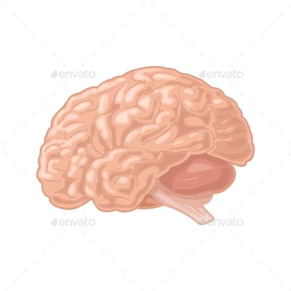 Human Anatomy Brain - Organic Objects Objects