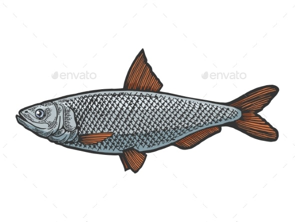 Herring Clupea Fish Sketch Engraving Vector - Animals Characters