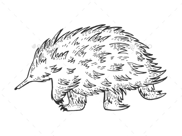 Short Beaked Echidna Animal Sketch Engraving - Miscellaneous Vectors