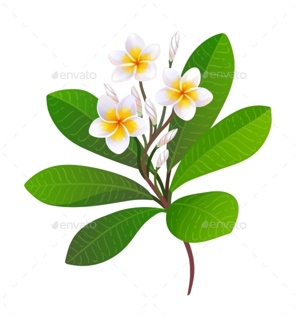 Vector Illustration of Blooming Plumeria - Flowers & Plants Nature