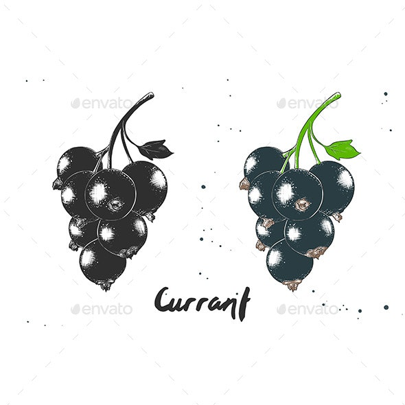 Hand Drawn Sketch of Black Currant - Food Objects