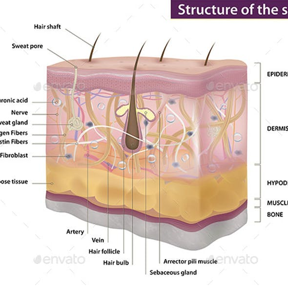 The Structure of Human Skin