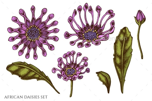 Vector Set of Hand Drawn Colored African Daisies - Flowers & Plants Nature