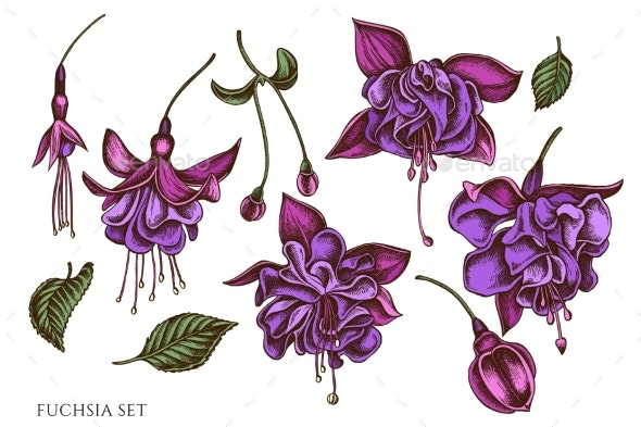 Vector Set of Hand Drawn Colored Fuchsia - Flowers & Plants Nature