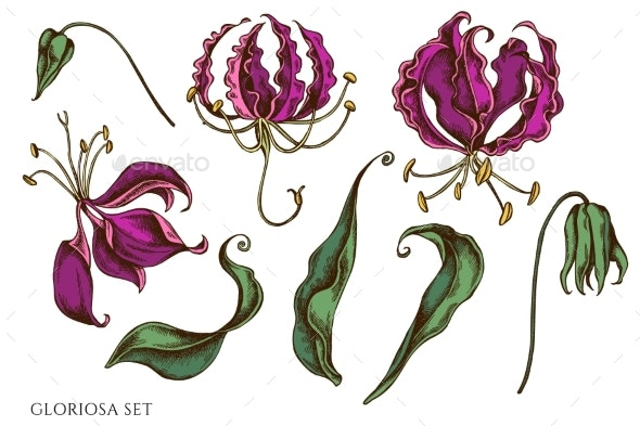 Vector Set of Hand Drawn Colored Gloriosa - Flowers & Plants Nature