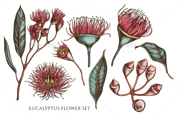 Vector Collection of Hand Drawn Colored Eucalyptus - Flowers & Plants Nature